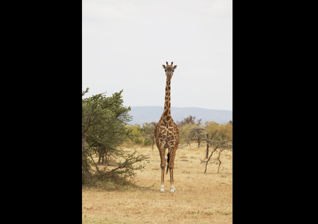 "As a ""Longnecker,""  Kit was ecstatic to spend time with her ""family members"" in Kenya."