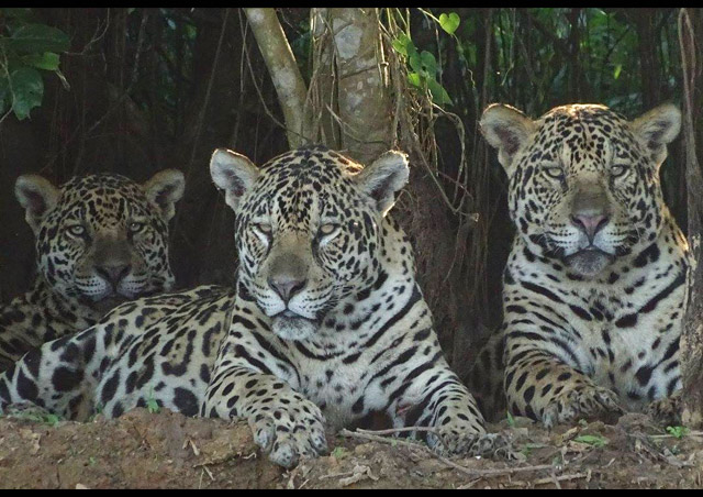 Up close and personal with the jaguars of the Pantanal