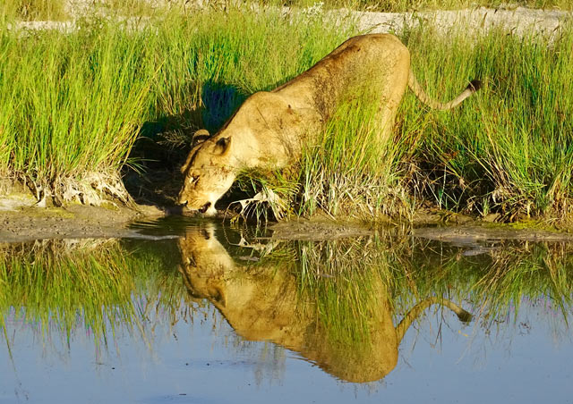 This is perhaps one of my favorite photos from my time in Botswana! The lighting was just perfect when I captured this lioness drinking some water.