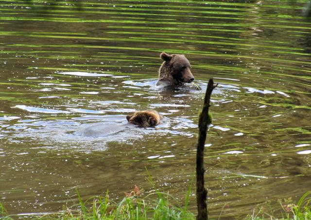Bears taking a dip at Anan Creek Bear Observatory - Nat Hab's Alaska's Inside Passage Wildlife Explorer