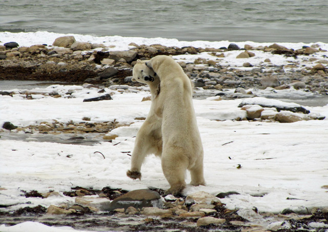 The incredible power of two sparring male polar Bears - Nat Hab's Classic Polar Bear Adventure
