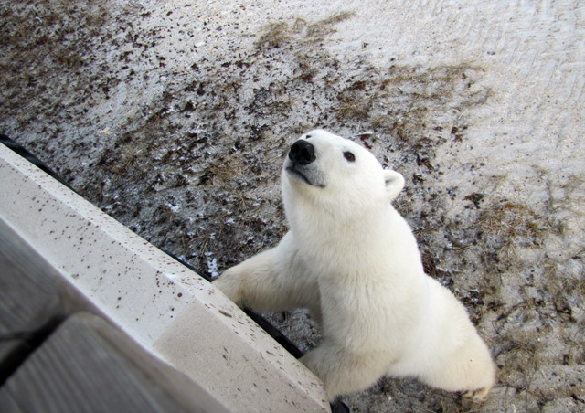 Up close and personal with this inquisitive polar bear! - Nat Hab's Classic Polar Bear Adventure