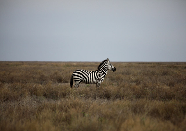 Lone zebra in the Ndutu Area around the southern Serengeti in Tanzania.