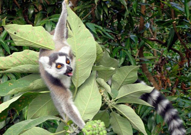 Ringtailed lemur in the southern part of Madagascar.