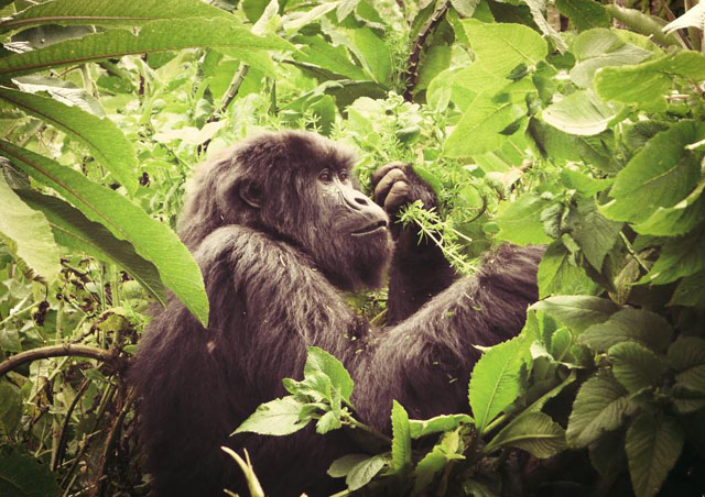 An amazing moment seeing a young mountain gorilla up close in Rwanda!