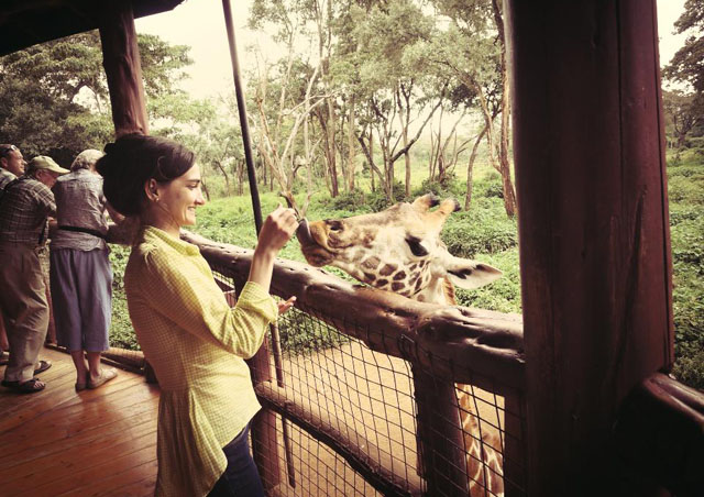 Interacting with a Rothschild giraffe at the Giraffe Centre in Nairobi.