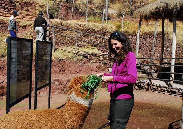 Feeding an alpaca at an alpaca farm in Peru