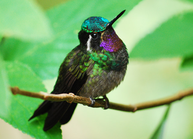 A purple-throated mountain gem hummingbird.  Seen in the cloud forests near Monteverde, Costa Rica.