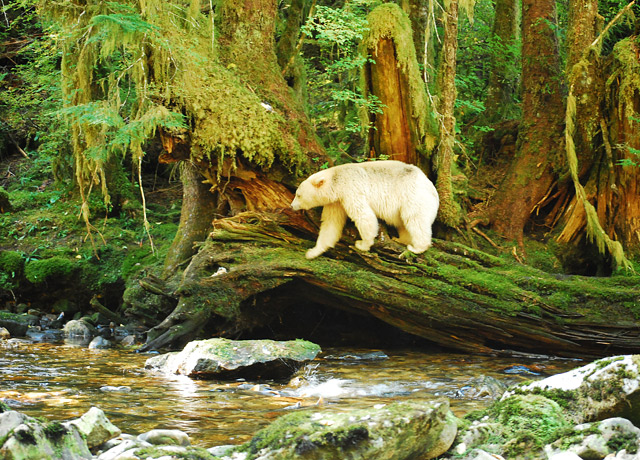 A spirit bear in its lush environs in British Columbia.