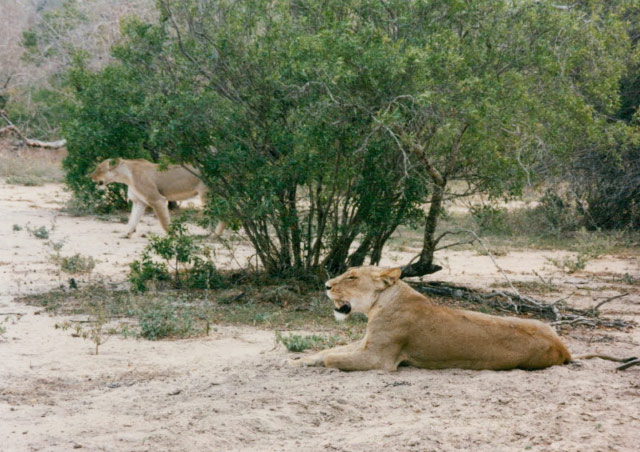 Lions on safari in South Africa.
