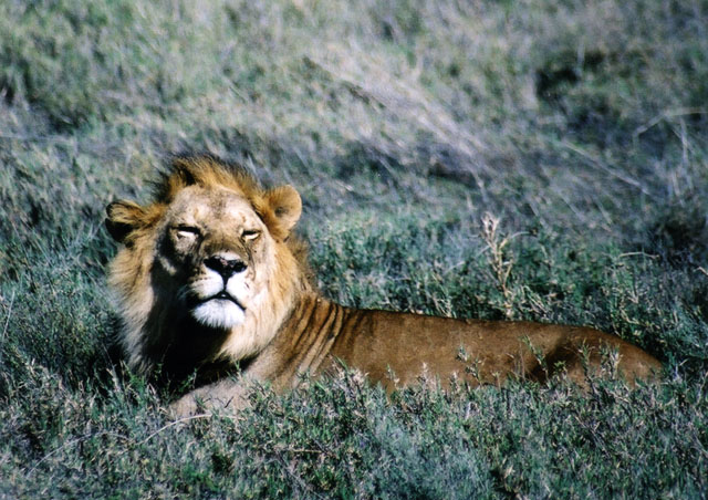 Watching a lion chillin' on our game drive in the Serengeti, Tanzania.