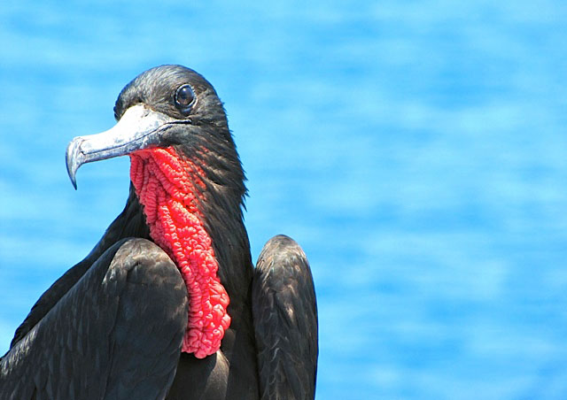 The frigate bird who was following our boat for miles