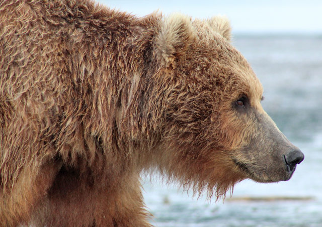 One of the most humbling trips I've ever done with NHA was The Great Alaskan Grizzly Encounter.