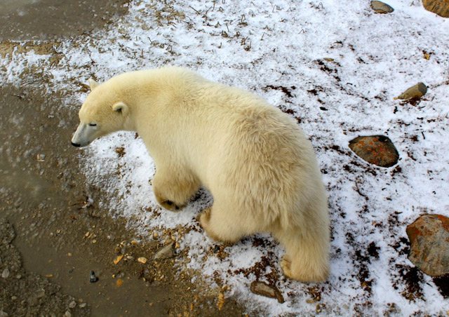Never in my life I thought I would get to see a polar bear up close! They are a lot quieter than you would think…