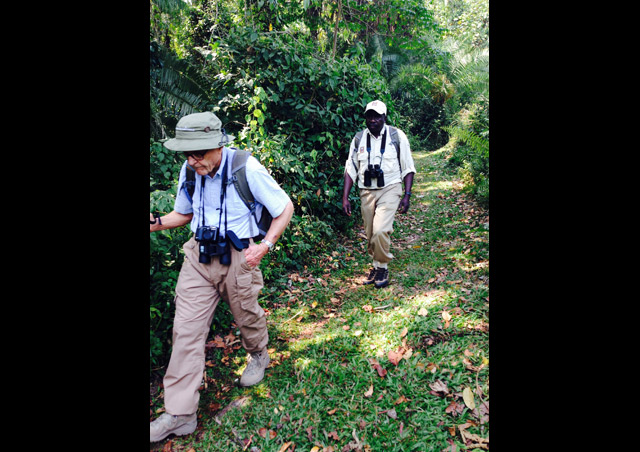 Our Silverback 'Chris' and fearless Expedition Leader, Denis Erabu, scouting for monkeys in the Bigodi Swamp