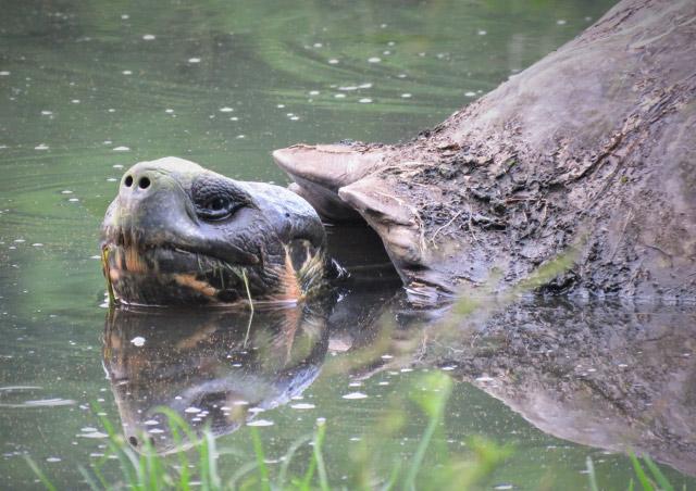 Giant Tortoise – Tortoise Camp, Santa Cruz Island