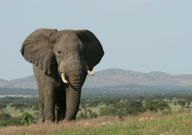 Great elephant viewing in the Western Serengeti