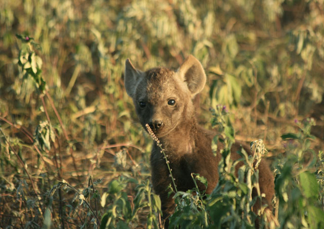 Babies everywhere in March! I loved watching this young hyena cub.