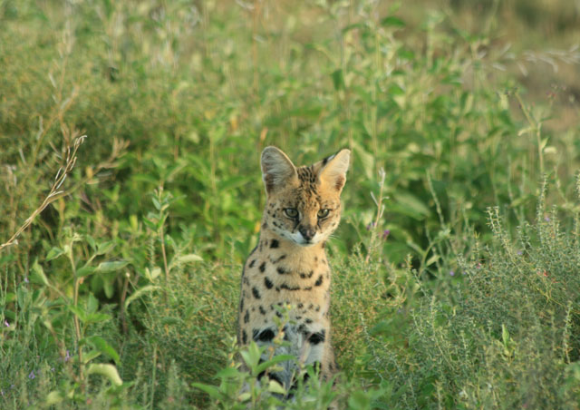 A serval cat caught a guinea fowl but then a rock python stole the guinea fowl from the cat. Poor cat, just sat and watched his dinner be swallowed by the snake.