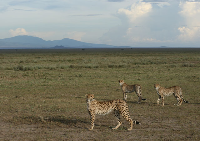 We got to watch an amazing hunt with this cheetah family.