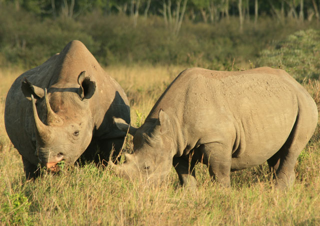 In the Mara we had an amazing viewing of this mom black rhino and calf.