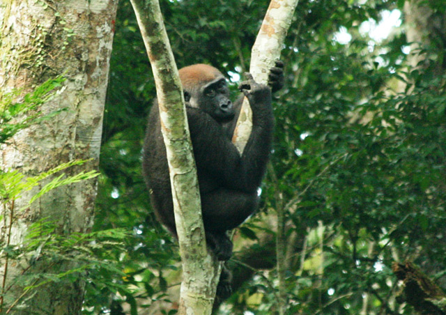 Seeing the lowland gorillas of the Congo was definitely one of my top travel highlights – October 2012