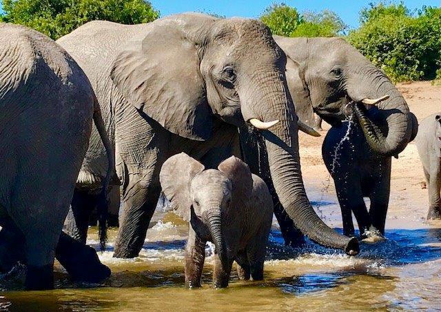 Baby ellie, Chobe River.