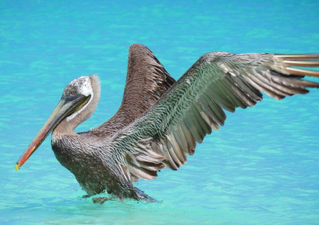 Brown Pelican, San Cristobal Island