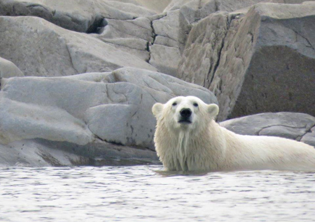 Seeing a polar bear swimming to cool off and then lazing on the rocks was unexpected and exciting.
