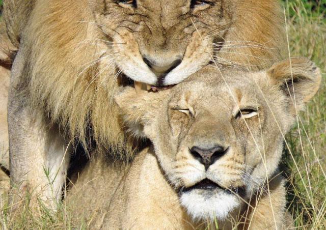 Mating lions, Botswana