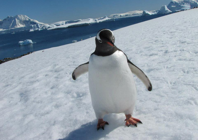 This little gentoo penguin just kept walking closer and closer to me, very curious as I sat and waited for him. He came within about a foot of me and then continued down the slope to the water. Gotta love those close encounters!