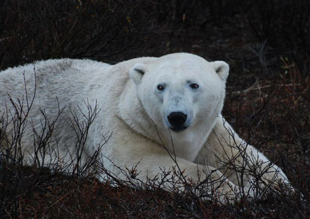 I loved the white fur against the colorful tundra.