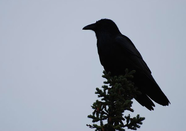 Crow high above the tundra