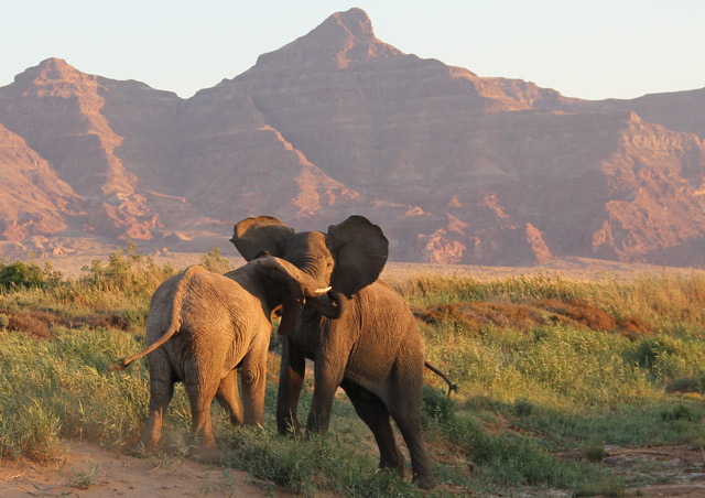 Namibia: Namibia is known for its desert-adapted elephants.  These two juveniles put on quite the show for our safari group at sunset in the Damaraland Conservancy