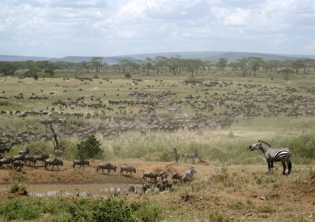 The Great Migration in the Serengeti is indescribable.  Thousands and thousands of wildebeest and zebras cover the vast plains, slowly moving in search of food and water.  When something spooks them and they start running, it feels like an earthquake.