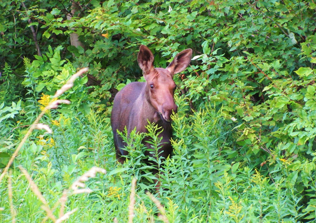 My first wild moose sighting while backpacking in Vermont, a baby!