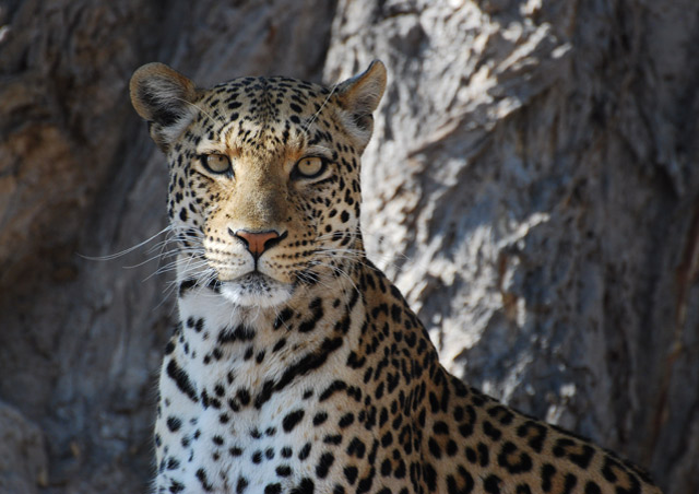 Beautiful female leopard, she was quite the model! –Nathab Secluded Botswana trip