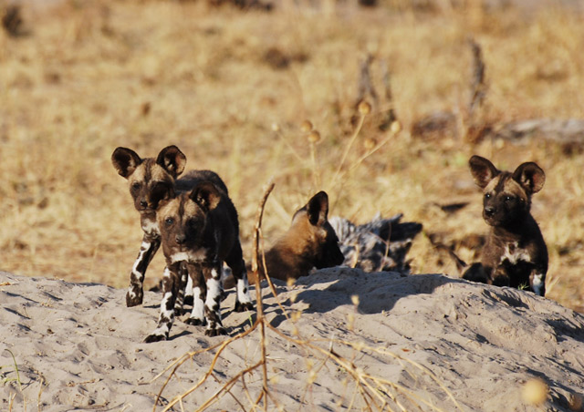 The Linyanti wild dog pack had a litter of pups just in time for my visit! –Nathab secluded Botswana trip