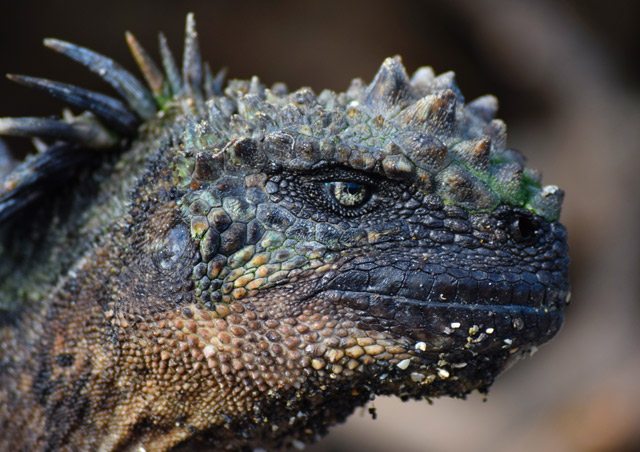 These Marine Iguanas are the dragons of the Galapagos. Nathab's Classic Galapagos Adventure
