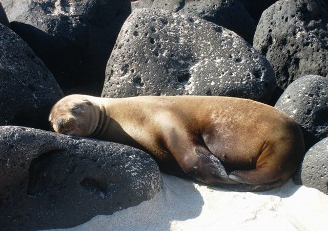 A baby sea lion snoozes on the lava – no need for a pillow!