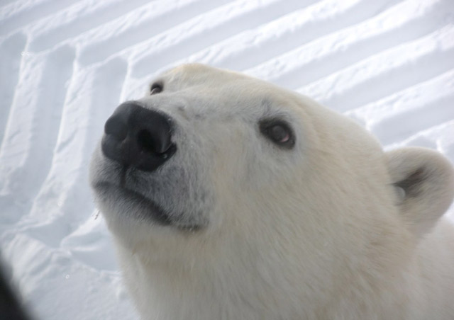 Close encounters of the Arctic kind: this fella is as curious about us as we are about him!