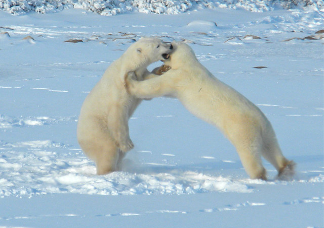 Watching young males play-fight is a source of tremendous entertainment on the tundra.