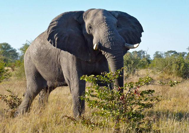 A bull elephant in Botswana's Moremi Game Reserve – they grow BIG here!