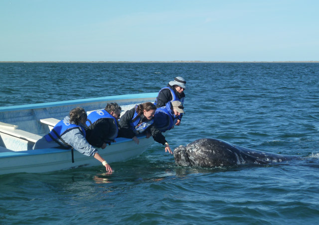 Meeting a friendly gray whale up close in Baja is simply wondrous. Our group members in the other boat were utterly thrilled.