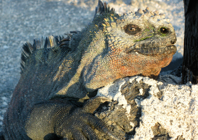 """Here's lookin' atcha!"" A marine iguana on the Galapagos island of Fernandina."