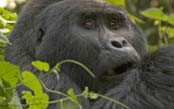 The Great Uganda Gorilla Safari
