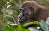 Undiscovered Congo: Gorillas & Wildlife of the Rain Forest