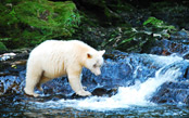 Spirit Bears, Humpbacks & Wildlife of BC