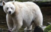 Spirit Bears & Humpback Whales of B.C.