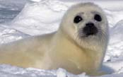 The Harp Seal Watch